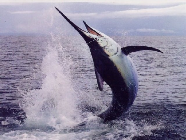Billfish Fishing Costa Rica